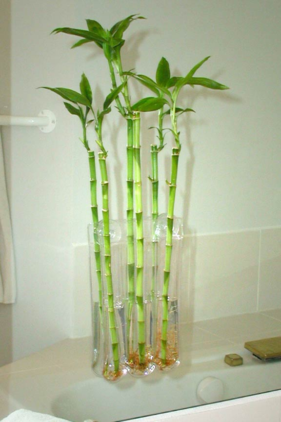 Grow bamboo in your bathroom for a relaxing, spa-like experience.